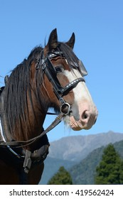 A portrait of a Clydesdale horse harnessed and ready for work