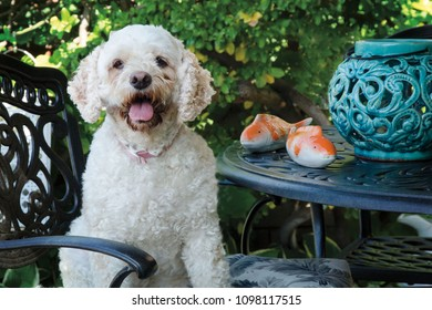 Portrait of a Cockapoo