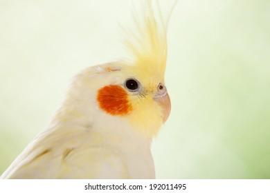 Portrait of The cockatiel or Nymphicus hollandicus