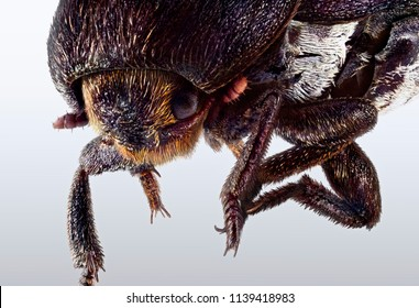 A portrait of a cockchafer beetle.