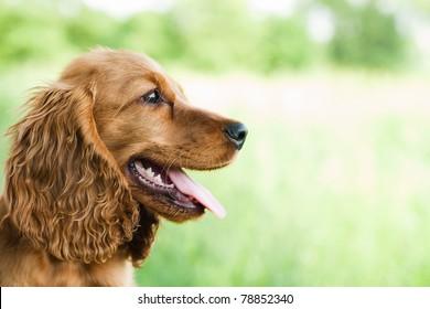 portrait Cocker Spaniel