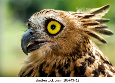 Portrait of a Collared Scops Owl and Looking up
