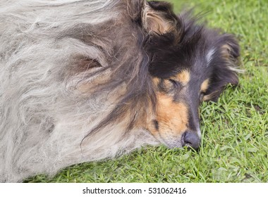 Portrait of collie dog on a grass