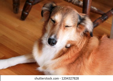Portrait of collie dog. Rough collie dog lying on wooden floor enjoys and resting. Lovely cute dog, pretty, pet concept, domestic animal. Pet at home, house. Rough collie, Shetland Sheepdog pedigree.