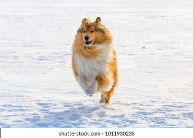 Portrait of collie dog running on snow field, outdoors