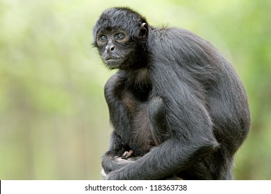 Portrait of a Colombian black spider monkey (Ateles fusciceps robustus)