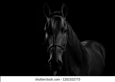 Portrait of Colombian Creole horse, in studio