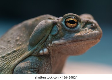 Portrait of colorado river toad