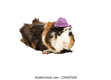 Portrait of colored guinea pig in a purple knitted hat isolated on a white background