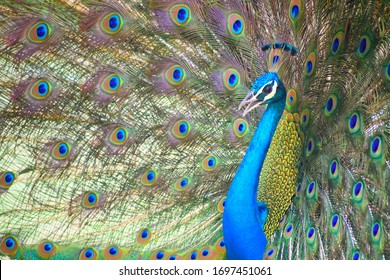 Portrait of a colorful dancing peacock