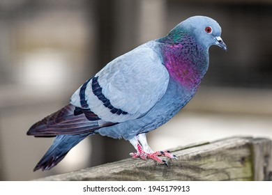 Portrait of a colorful pigeon perched on a wooden fence.