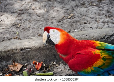 Portrait of colorful Scarlet Macaw. Guyana, South America