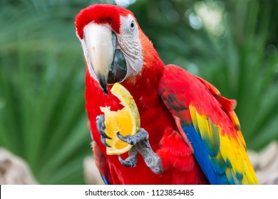 Portrait of colourful, red parrot bird macaw in Xcaret, Yucata