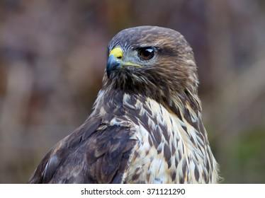 Portrait of a common buzzard in winter.