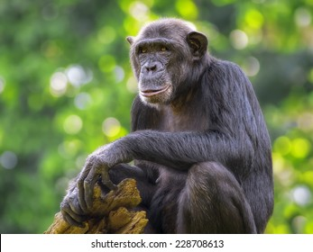 Portrait of a Common Chimpanzee in the wild