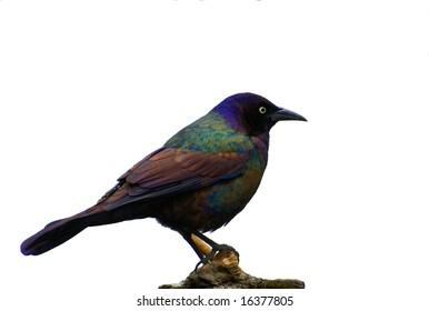 Portrait of Common Grackle on white background