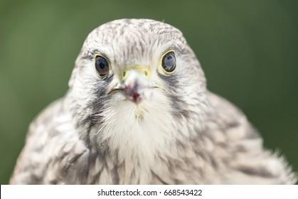 Portrait of a Common kestrel