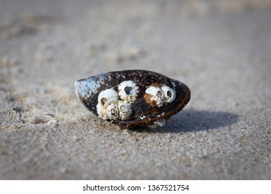 Portrait of a common mussel