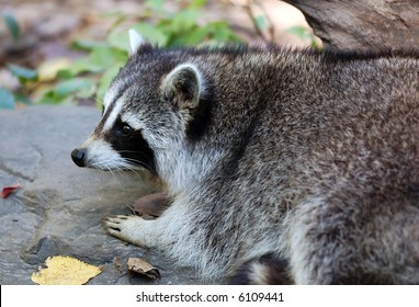 Portrait of a Common Raccoon (Procyon lotor) on a rock