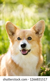 portrait of cool corgi dog in the sunny park