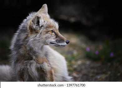 portrait of corsac fox from zoo