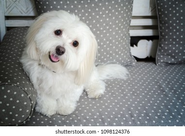 Portrait of a Coton De Tulear