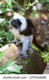 Portrait of a cotton top tamarin (saguinus oedipus) standing on a rock