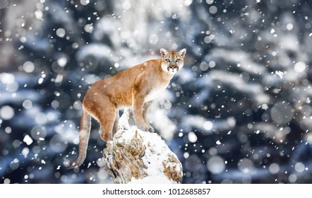 Portrait of a cougar, mountain lion, puma, Winter mountains. Winter scene in wildlife America, snow storm, snowfall