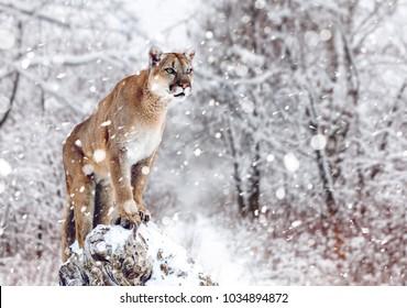 Mountain Lion Face Images Stock Photos Vectors Shutterstock