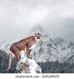 Portrait of a cougar, mountain lion, puma, panther, striking a pose on a fallen tree, winter mountains
