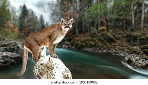 Portrait of a cougar, mountain lion, puma, panther, striking a pose on a fallen tree. Gorge of the mountain river