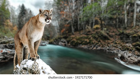 Portrait of a cougar, mountain lion, puma, panther, striking a pose on a fallen tree. Gorge of the mountain river.