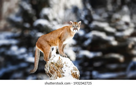 Portrait of a cougar, mountain lion, puma, panther, striking a pose on a fallen tree, Winter scene in the woods, wildlife America