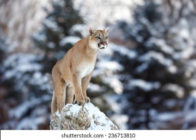 Portrait of a cougar, mountain lion, puma, panther, striking  pose on a fallen tree, Winter scene in the woods