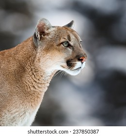 Portrait of a cougar, mountain lion, puma, panther, striking pose, Winter scene in the woods,  wildlife America,