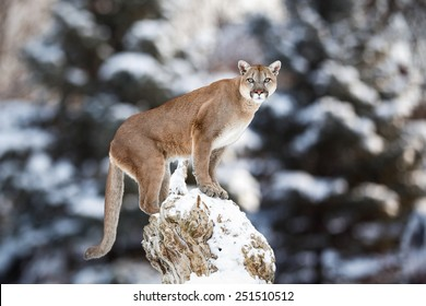 Portrait of a cougar, mountain lion, puma, striking pose on a fallen tree, Winter scene in the woods, wildlife America
