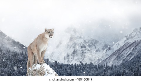 Mountain Lion Images Stock Photos Vectors Shutterstock