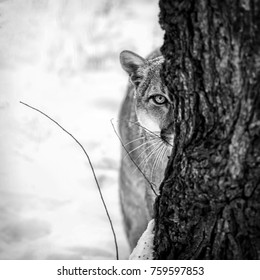 Portrait of a cougar, mountain lion, puma,cougar behind a tree.  panther, striking a pose on a fallen tree, Winter scene in the woods