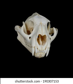 Portrait of a Cougar Skull