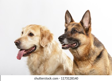 Portrait of a couple of expressive dogs, a German Shepherd dog and a Golden Retriever dog against white background