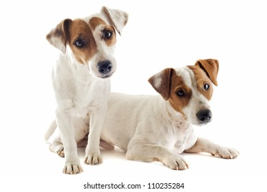 portrait of a couple of purebred jack russel terrier in studio