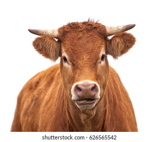Portrait of a Cow Grown for Organic Meat on a White Background