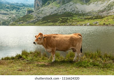 Portrait of cow in the lakes of Covadonga, Picos de Europa, Spain