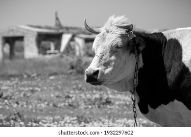 A portrait of a cow on the background of an old farm, which is being taken apart into bricks