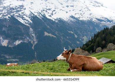 Portrait of cow sitting on the field, Grindelwald Valley Switzerland