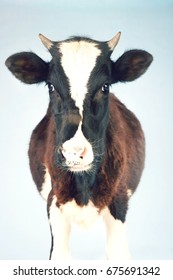 Portrait of a cow standing against clear blue sky