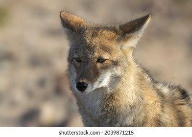 Portrait of a coyote in Death Valley National Park.