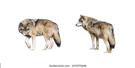 The portrait of coyote with white background
