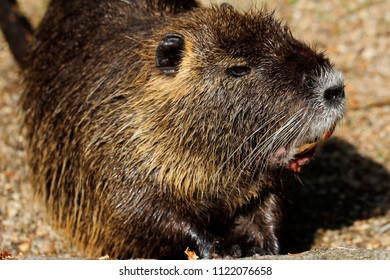 Portrait of coypu nutria. Myocastor coypus, sitting near the rivershore. Photography of nature and wildlife.