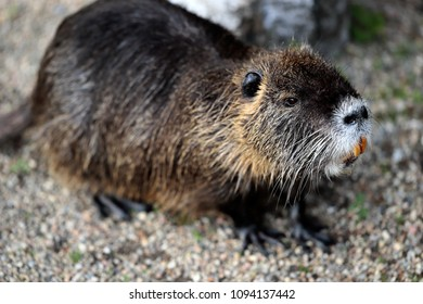 Portrait of coypu nutria. Myocastor coypu, sitting near the rivershore. Large orange teeth are clearly visible on this coypu.